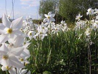 долина Нарциссов