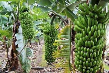 Оранжерея банановых пальм